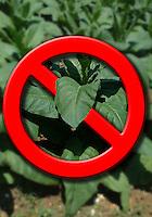 Agricoltore controlla la crescita e la salute delle piante di tabacco. Farmer controls the growth and health of the tobacco plants.....