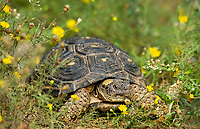 481150057c a wild texas tortoise gopherus berlandieri in a small patch of yellow wildflowers in the rio grande valley of south texas