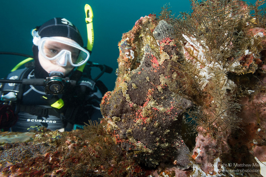 Puerto Galera, Oriental Mindoro, Philippines; a scuba diver looks at a grey and green giant frogfish camouflaged against the sponge and algae growing on a ship wreck