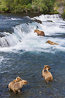 Brown bears fishing for salmon at the Brooks Falls, Brooks River, Katmai National Park, Alaska
