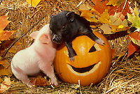 Two potbelly piglets playing in jacko'lantern, carved pumpkin among fall leaves and straw