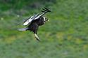 Male adult Andean condor (Vultur gryphus) in flight. Estancia Olga Teresa, southern Patagonia, Chile.