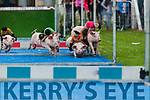 And their off the Pig at the Ballyheigue Summer Festival Pig Racing on Thursday evening at Ballyheigue GAA grounds.