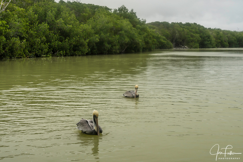 Two Brown Pelicans, Pelecanus occidentalis, on the water in the Ria Lagartos Biosphere Reserve, a UNESCO World Biosphere Reserve in Yucatan, Mexico.