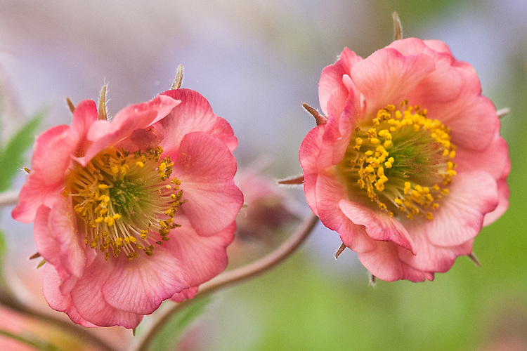 Geum 'Bell Bank', mid May.