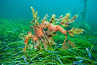 leafy Seadragon, Phycodurus eques, male, carrying eggs on his brood patch where female deposited them recently using her long tube-like ovipositor, Wool Bay, South Australia, Australia