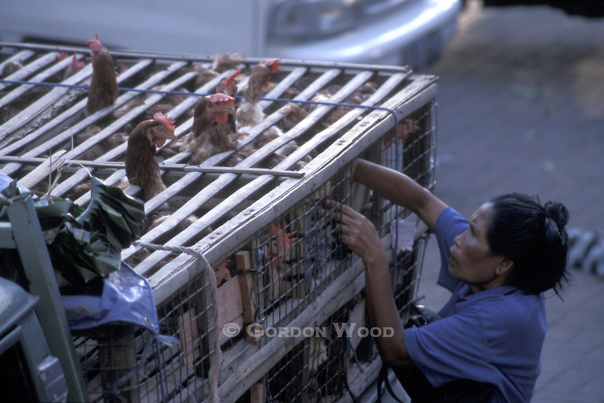 Taking Chickens to Market - Ubud, Bali, Indonesia