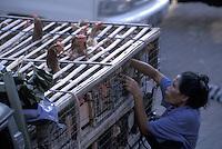 Taking Chickens to Market - Ubud, Bali, Indonesia