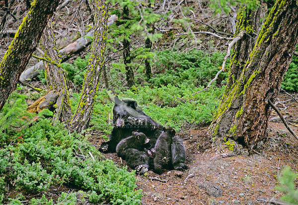 Black Bear sow nursing young cubs.  Western U.S., May.