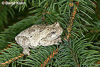 0303-0901  Eastern Gray Treefrog (Grey Tree Frog) on Pine Tree Branch, Hyla versicolor  © David Kuhn/Dwight Kuhn Photography