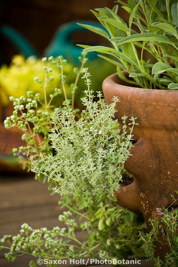 Silver thyme, Thymus vulgaris 'Argenteus' in herb container, strawberry pot on deck in backyard garden