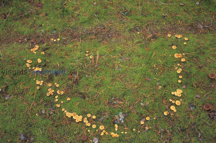 Fairy ring of mushrooms, North America.