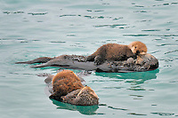 Alaskan or Northern Sea Otter (Enhydra lutris) mothers and pups