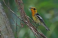 Blackburnian Warbler, Dendroica fusca, male, Port Aransas, Texas, USA.