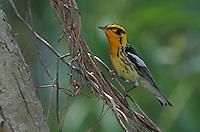 Blackburnian Warbler, Dendroica fusca, male, Port Aransas, Texas, USA.