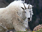 We found mountain goats on the Beartooth Highway, which is outside the Northeast entrance to Yellowstone National Park. Mountain goats are sometimes seen in Yellowstone and also on the Beartooth Highway, just outside the Northeast entrance to the park.