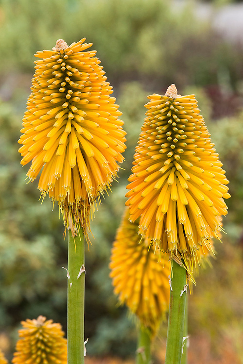 Kniphofia 'Yellow Cheer', early October.