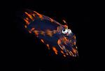 Flounder larva ID , 3P's Black Water Diving, Romblon, Philippines, Dream Tour 2018