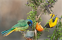 561850045 a wild audubon's oriole icterus graduacauda and green jay cyanocorax yncas perch at a feeding station on santa clara ranch hidalgo county rio grande valley texas united states