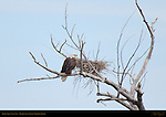 Bald Eagle with Nest, Bosque del Apache Wildlife Refuge, New Mexico