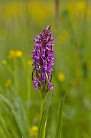Fleischfarbenes Knabenkraut, Steifblättriges Knabenkraut, Orchidee des Jahres 2015, Dactylorhiza incarnata, Early Marsh-orchid