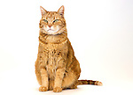 Ginger Cat (Ronnie)