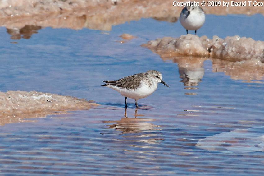 Western Sandpiper, Guerrero Negro, Baja Sur, Mexico