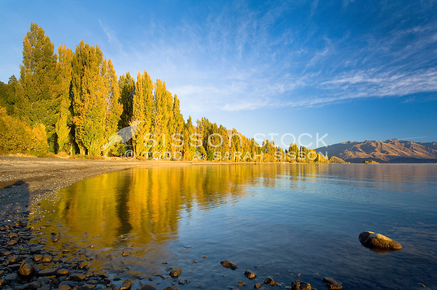 Yellow poplars reflection in Lakes Wanaka at sunrise, South Island, New Zealand