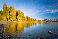 Yellow poplars reflection in Lakes Wanaka at sunrise, South Island, New Zealand