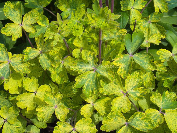 Aquilegia Woodside variegated foliage