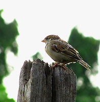 A cute chubby female house sparrow baby/juvenile sitting on a wooden log.