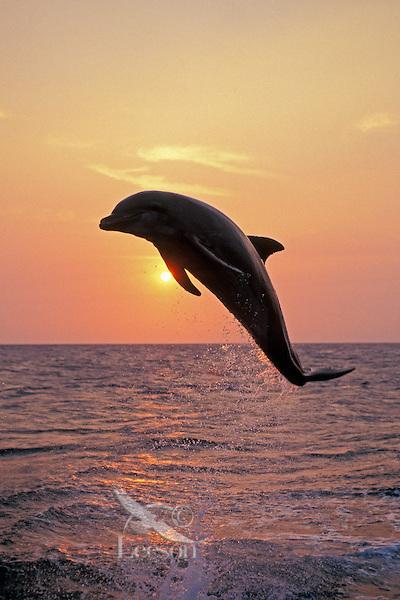 Common Bottlenose Dolphin or Bottle-nosed dolphin (Tursiops truncatus)