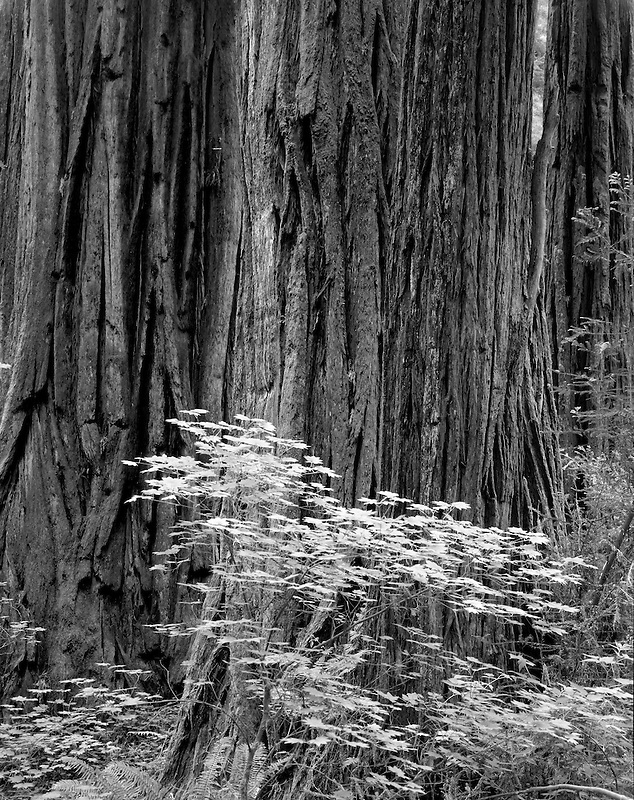 Large Redwood with Vine Maples. Redwood National Park, California.