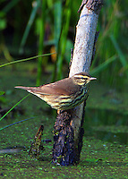 Adult northern waterthrush at pond