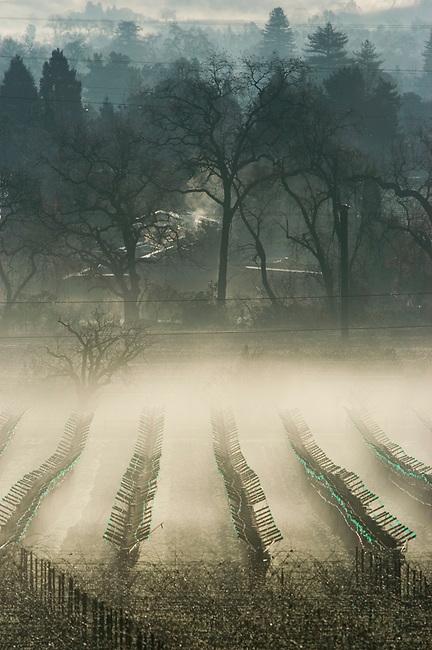 Fog in vineyards in St. Helena