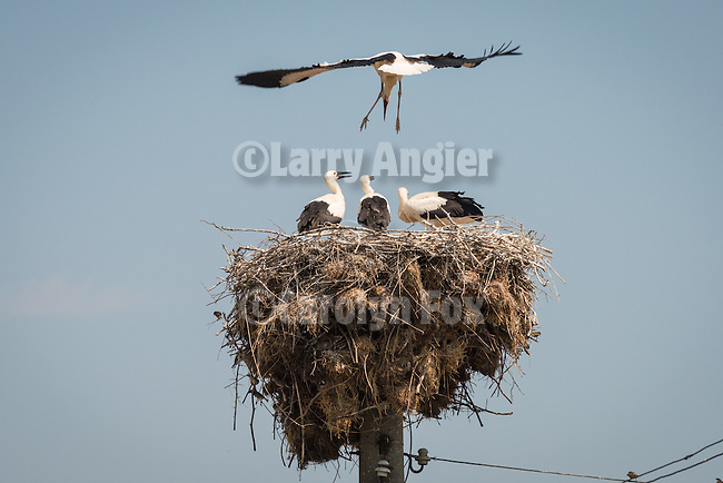 A stork lands in a nest of sticks at the top of a power pole, Kapitan Andrevo, Bulgaria