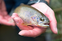 An angler holds a westslope cutthroat trout from Cherry Creek located west of Bozeman, Montana.