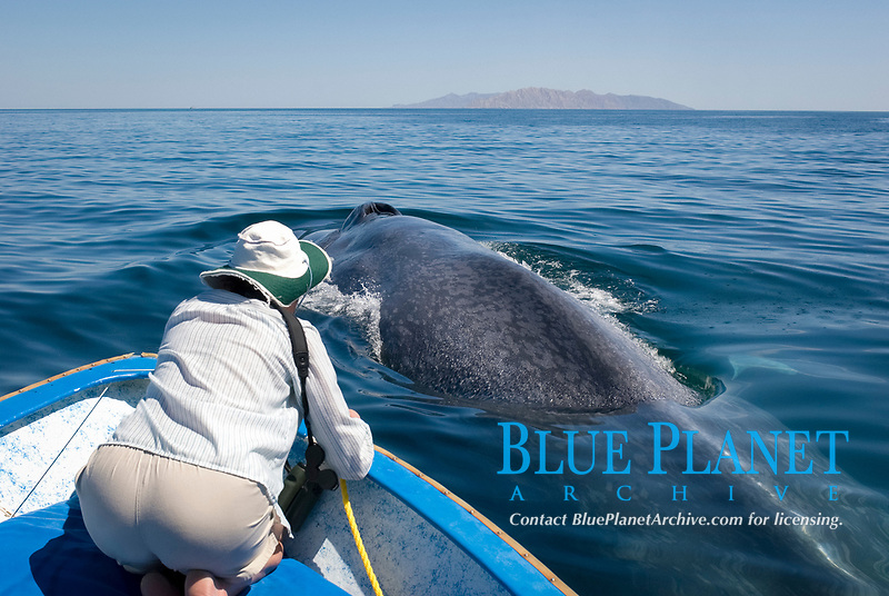 Blue whale (Balaenoptera musculus) Gulf of California.A very relaxed blue whale surfaces right next to a whalewatcher., Baja California, Mexico, Pacific Ocean