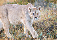 This young male Puma (Puma concolor) was hanging around the female Hermanita. She even let him feed on her Guanaco kill. Before this big guy appeared, Hermanita was infamous for chasing off any male Puma who dared to approach her. We're hoping that this cat and Hermanita mate! No guarantees, but her tolerance of him is encouraging This male is huge - already larger than Hermanita. Who knows, maybe he will become king of the territory. Near Torres del Paine National Park, Patagonia, Chile.