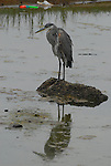 Great Blue Heron in lagoon