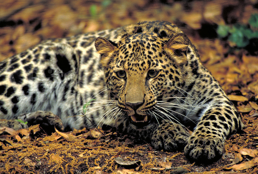 African leopard adult female. Wildlife. big cat.