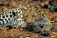 African leopard adult female. Wildlife. big cat.