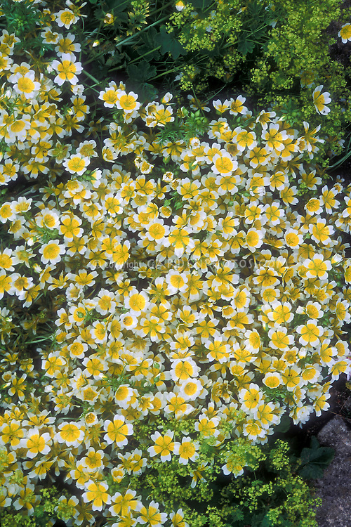 Limnanthes douglasii yellow and white annual flowers