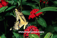 03017-00506 Giant Swallowtail (Papilio cresphontes) on Red Pentas (Pentas lanceolata), Marion Co.  IL