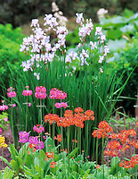 Primrose garden. University of British Columbia Garden. Vancouver, BC