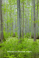 63895-14606 Bald Cypress trees (Taxodium distichum) Heron Pond Little Black Slough, Johnson Co. IL
