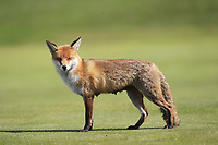 A fox on the 2nd fairway during Round 3 of the Irish Women's Open Stroke Play Championship 2018 on Sunday 13th May 2018.<br />
