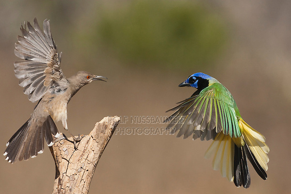 Curve-billed Thrasher (Toxostoma curvirostre) and Green Jay (Cyanocorax yncas) adults fighting, Starr County, Rio Grande Valley, South Texas, USA