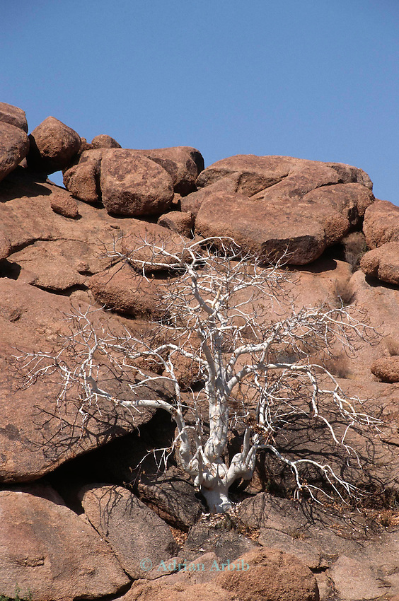 A tree hangs on to  life  in the  Himba region of Northern Namibia.