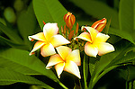 Cruising: South Pacific, Flora, flowers, plumeria, frangipani, Photo: crupac103  .Photo Copyright: Lee Foster, (510) 549-2202, lee@fostertravel.com, www.fostertravel.com